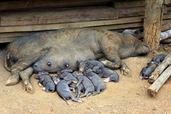 Family of pigs. Pig and piglets having a nap Stock Images