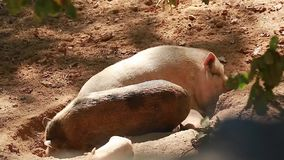 Family of Pigs. Resting in the Sun stock video
