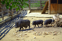 A family of pigs walk Royalty Free Stock Photo