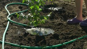 Family planting birch trees in garden. Woman water the tree after planting. Family planting birch trees in the garden. Woman water the tree after planting with stock video