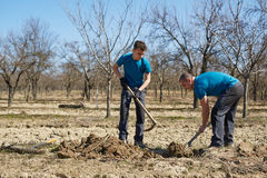 Family planting a plum tree in an orchard. Father and son digging a hole in an orchard to plant a plum tree Stock Images
