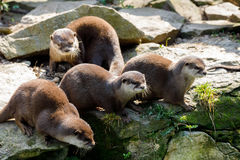 Family of European otter Lutra lutra royalty free stock images