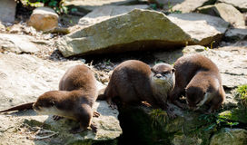 Family of European otter Lutra lutra stock photos