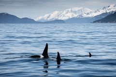 Orca in Kenai Fjords NP stock image
