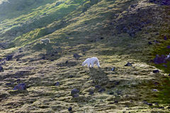 Family of polar bears on Northbrook island Franz Josef Land. Family of polar bears on Northbrook island Franz-Josef Land. Cub very dirty, as rolls from rock stock images