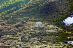 Family of polar bears on Northbrook island Franz Josef Land. Family of polar bears on Northbrook island Franz-Josef Land. Cub very dirty, as rolls from rock royalty free stock images