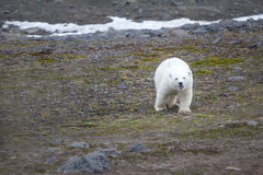 Family of polar bears on Northbrook island Franz Josef Land. Family of polar bears on Northbrook island Franz-Josef Land. Overwhelming curiosity: cub approaches Royalty Free Stock Photography