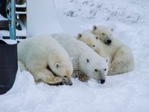 Family of polar bears on Wrangel Island royalty free stock photo