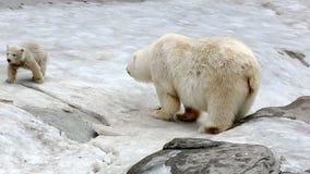 Family of polar polar bears stock footage