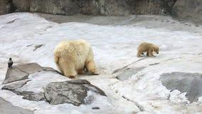 Family of polar polar bears stock video