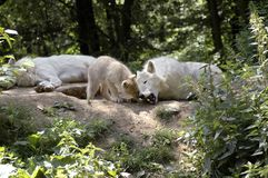 Family of polar wolves  (canis lupus tundrorum). The cub tries to take away the bone of a wolf Stock Images