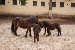 Family ponies Royalty Free Stock Photo