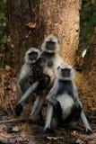 Family portrait. Family of monkey four Languor. Langoors sitting at tree. Bandhavgarh National Park. India Asia stock photos