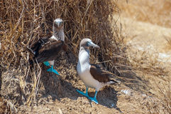 Family portrait of Blue-footed boobies Stock Photo