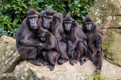 Family portrait of crested macaque monkeys, father and mother and 3 young monkeys. Family of crested macaque monkeys in the Rotterdam Zoo, Netherlands sitting stock photography
