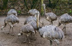 Family portrait of a group of American rheas standing together, tropical flightless birds from America, Near threatened animals. A family portrait of a group of royalty free stock images