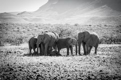 Deserted adapted elephants in bush. Family portrait in monochrome deserted adapted elephants in bush in Torra Conservancy Namibia royalty free stock photos