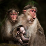Family Portrait Of Macaque Monkeys. India Stock Images