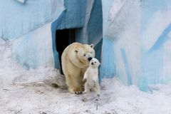 Polar bear with cub. Mother love. Royalty Free Stock Images