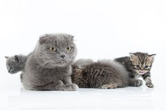 Family portrait of Scottish fold cats Stock Photos