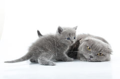 Family portrait of Scottish fold cats Royalty Free Stock Image