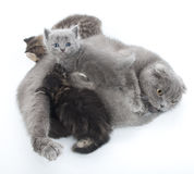 Family portrait of Scottish fold cats Stock Image