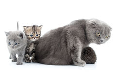 Family portrait of Scottish fold cats. Family portrait of Scottish fold mother cat with her kittens Stock Images