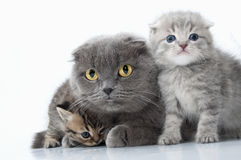 Family portrait of Scottish fold ear mother cat with her kittens Royalty Free Stock Photography