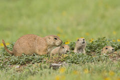 Family of prairie dogs. At den royalty free stock images