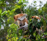 Family of proboscis monkeys sitting in a tree in the jungle. Indonesia. The island of Borneo Kalimantan. Royalty Free Stock Image
