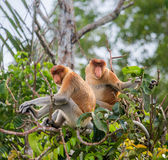 Family of proboscis monkeys sitting in a tree in the jungle. Indonesia. The island of Borneo Kalimantan. Stock Photo