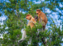Family of proboscis monkeys sitting in a tree in the jungle. Indonesia. The island of Borneo Kalimantan. Stock Images
