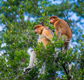 Family of proboscis monkeys sitting in a tree in the jungle. Indonesia. The island of Borneo Kalimantan. Stock Photos