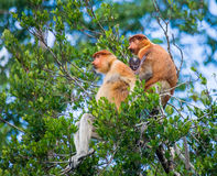 Family of proboscis monkeys sitting in a tree in the jungle. Indonesia. The island of Borneo Kalimantan. Royalty Free Stock Photography