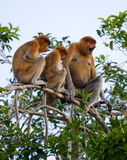 Family of proboscis monkeys sitting in a tree in the jungle. Indonesia. The island of Borneo Kalimantan. Stock Photography