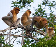 Family of proboscis monkeys sitting in a tree in the jungle. Indonesia. The island of Borneo Kalimantan. Stock Image