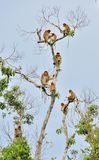 Family of Proboscis Monkeys sitting on a tree in the wild green rainforest on Borneo Island. Royalty Free Stock Photography