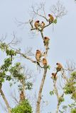 Family of Proboscis Monkeys sitting on a tree in the wild green rainforest on Borneo Island. Royalty Free Stock Photo