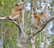 Family of Proboscis Monkeys sitting on a tree in the wild green rainforest on Borneo Island. The proboscis monkey Nasalis larvatu Stock Photo