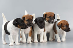 Family of purebred puppies smooth coat fox terrier, photographed stock photography