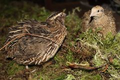 Family of quails in the forest royalty free stock image