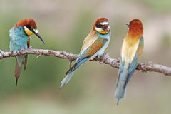 Family quarrel. European bee-eater wild bird Stock Photography
