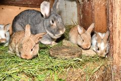 Rabbit mutter and little cutie watching around his hay nest close up portrait. Family rabbit mutter and little cutie watching around his hay nest close up stock images
