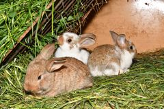 Rabbit mutter and little cutie watching around his hay nest close up portrait. Family rabbit mutter and little cutie watching around his hay nest close up Stock Photography