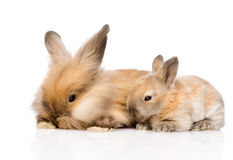 Family of rabbits. isolated on white background.  Stock Images