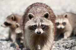 Family of raccoon Stock Images