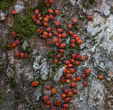 Family red bugs on the bark of a tree stock photo