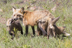 Family of red foxes gathering in meadow. Red fox mother and kits in meadow royalty free stock photo