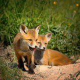Family of red foxes Royalty Free Stock Image
