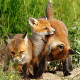 Family of red foxes playing near the burrow